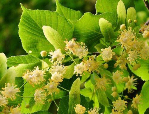 5 növény a ház közelében, mely a legtöbb allergiás panaszt okozza
